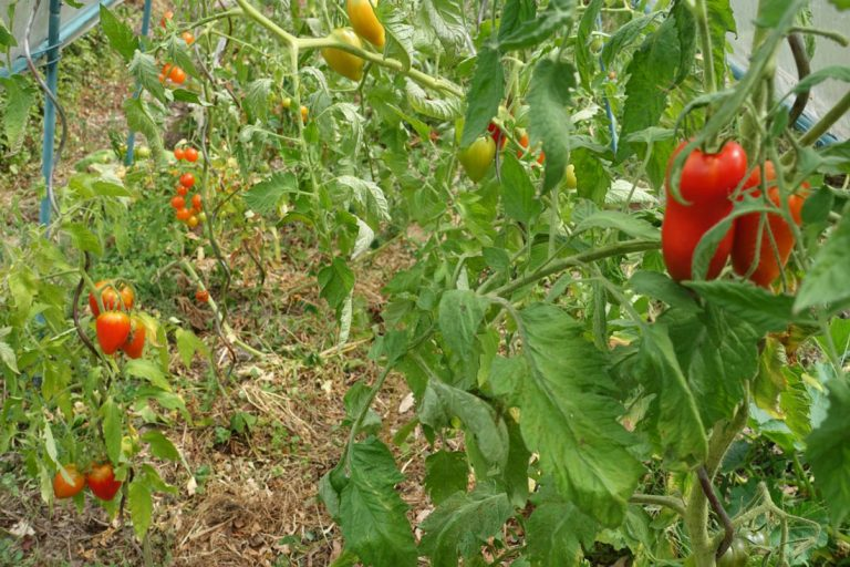 3 pratiques incontournables pour produire des tomates bio dans votre jardin