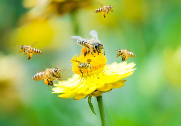 Le déclin des abeilles et la pollinisation: une urgence écologique majeure